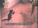Кот-боксёр против дзюдоиста